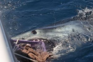 A mako chewing on a chum crate. Image from riverandreef.com