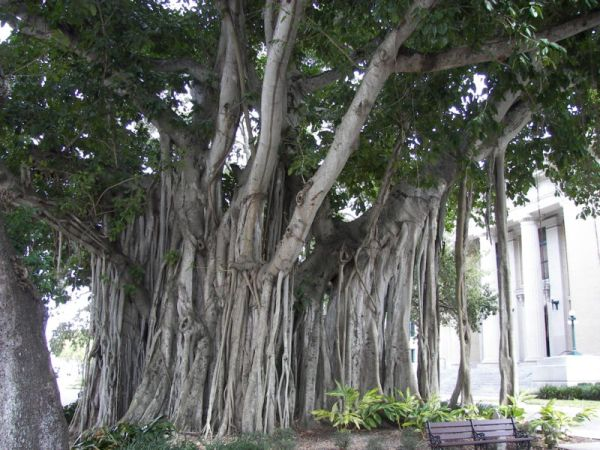 http://en.wikipedia.org/wiki/File:Banyan_tree_Old_Lee_County_Courthouse.jpg